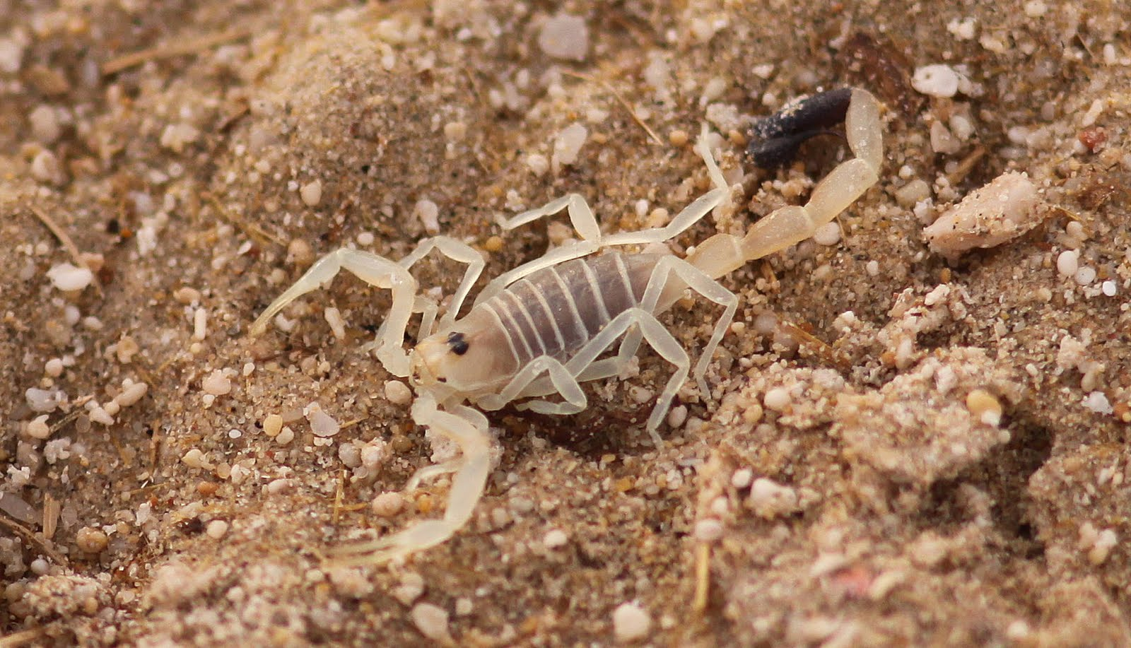 Asian Forest Scorpion Sting