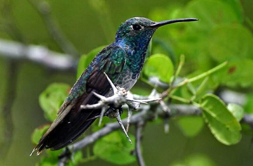 colibri esmeralda,Olanchito,Arenal, Yoro,Honduras