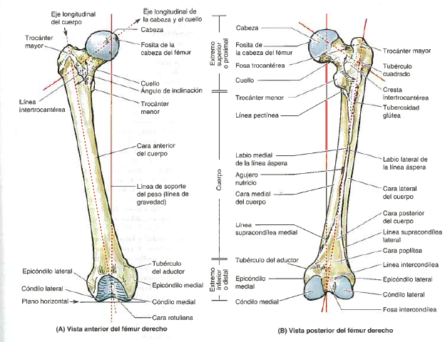 MIEMBRO INFERIOR | Morfofisiología I