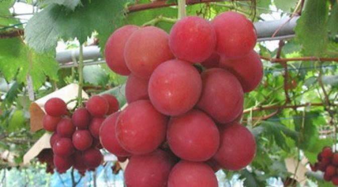 Anggur Ruby Romawi