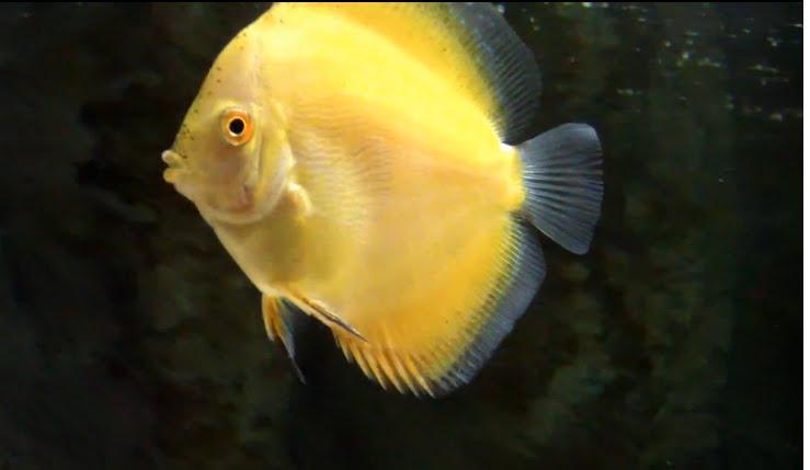 Fish Zone Discus Fish Care And Breeding