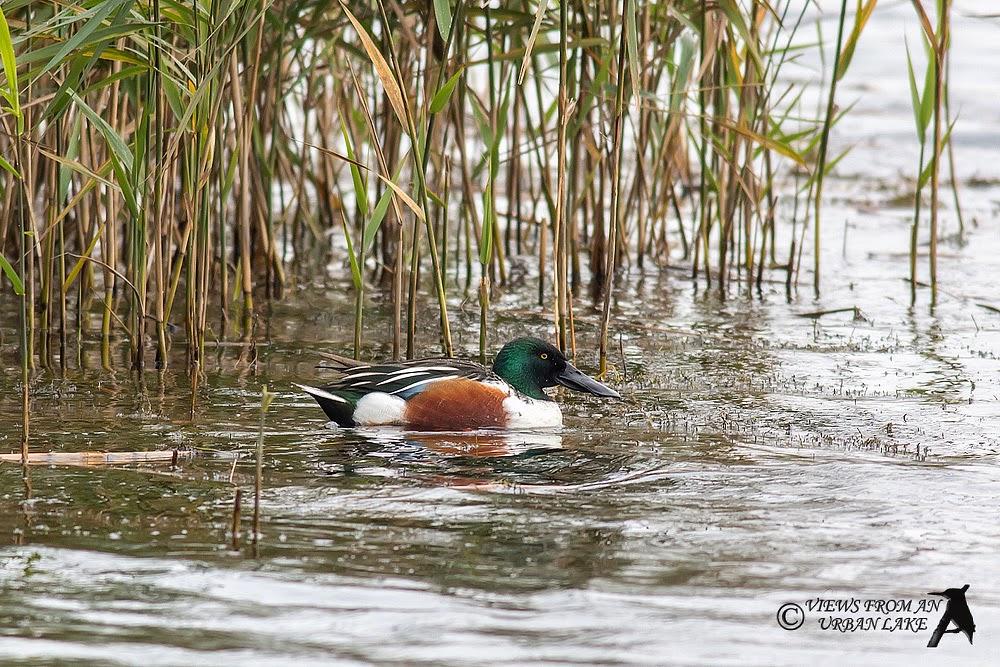 Northern Shoveler - Willen Lake, Milton Keynes