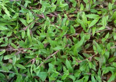 mengenal jenis rumput taman yang bagus