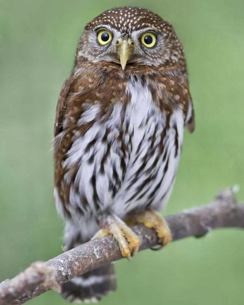 Northern pygmy owl perched