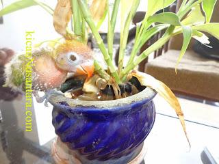 hand feeding lovebird, hand feeding parrot, hand feeding canary and lovebird