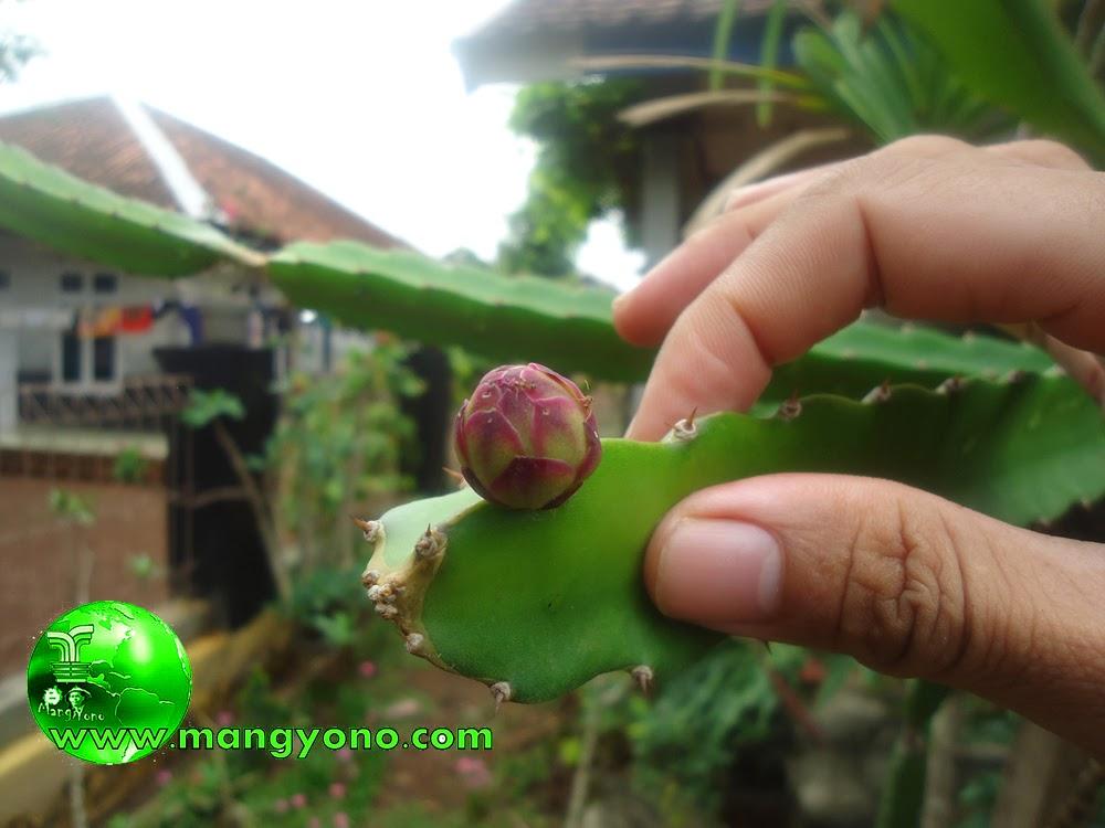 Bunga poho Naga, mudah - mudahan saja jadi buah ya..