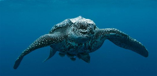 Leatherback sea turtle pictures in the water - photo#3