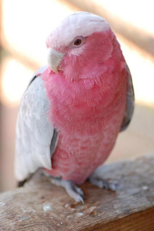 White Baby Parakeet Imágenes de Periq...