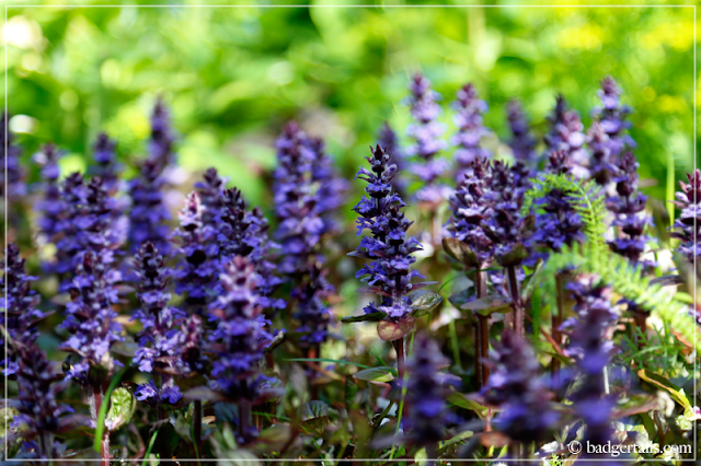 Purple Ajuga Reptans