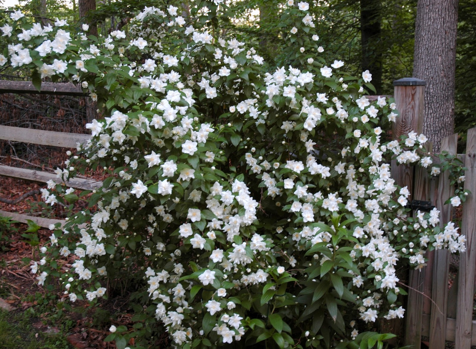 Tin Roof Gardens Philadelphus In Maryland