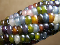 Photo of Glass Gem corn, courtesy of Mother Earth News