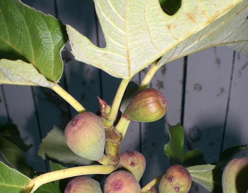 Fruit Trees That Grow In Virginia Beach
