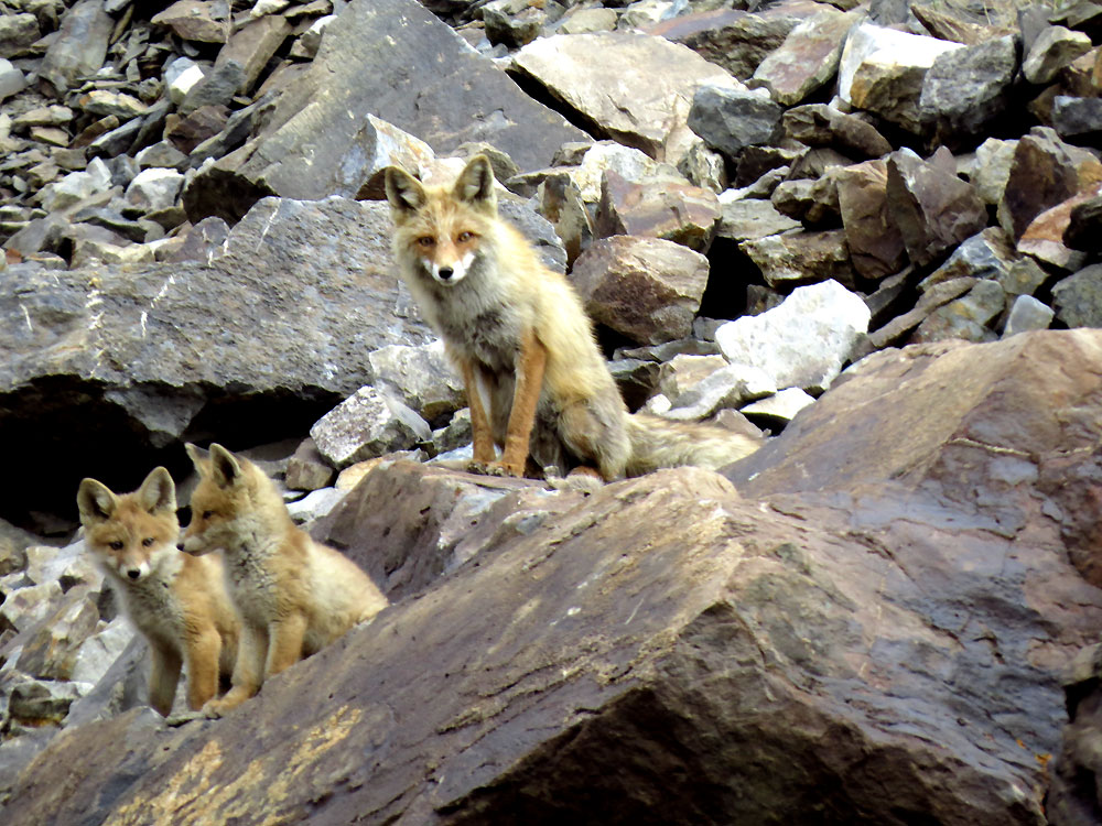Red fox cubs with motherRed Fox Cubs