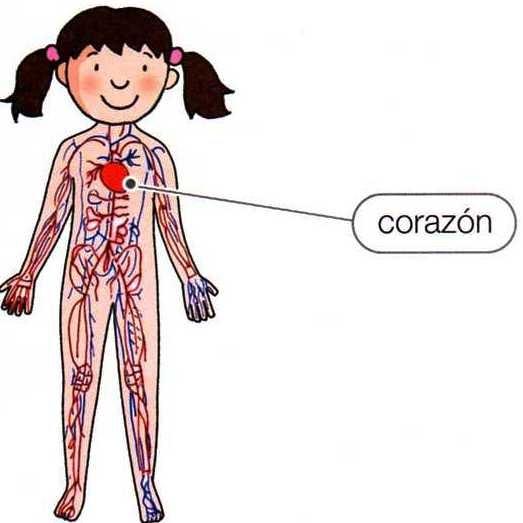 Ahora juegas t Aprende y juega con el aparato circulatorio