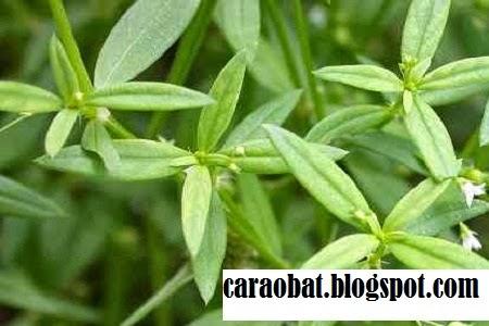 Manfaat Rumput Mutiara