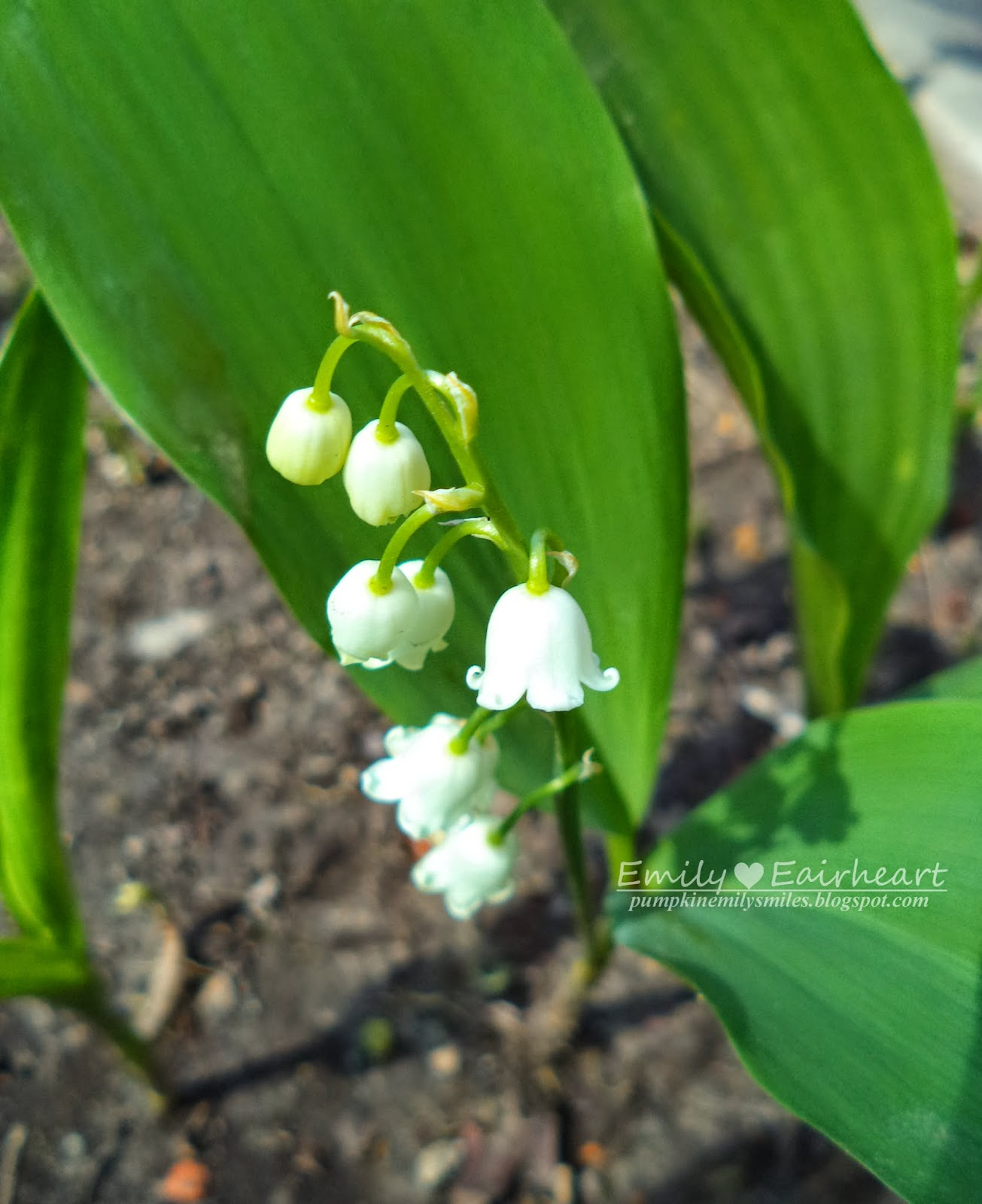 Lily of the Valley, bell shaped flowers.