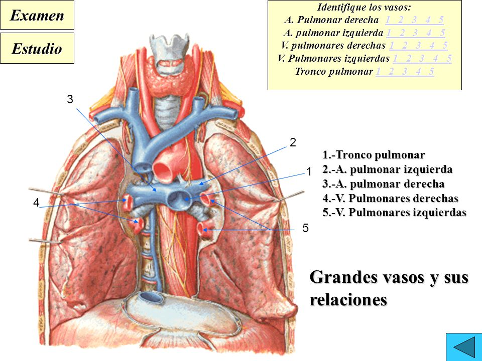 Hermosa Anatomía Tronco Pulmonar Galería - Imágenes de Anatomía ...