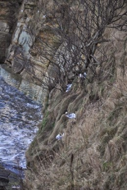 Kittiwakes nesting on cliffs  at St Andrews