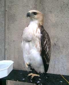 Foto Burung Elang Brontok Fase Terang