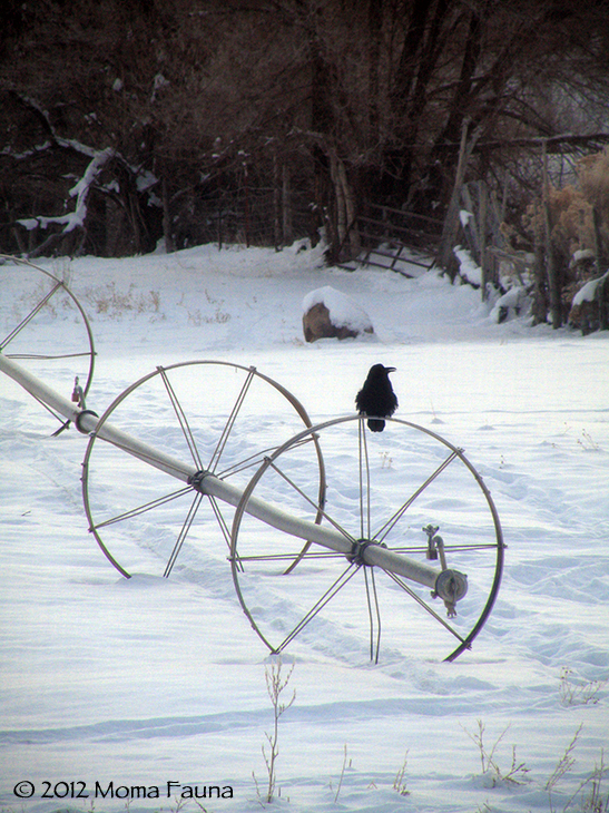 Winter Crow (Corvus corax).