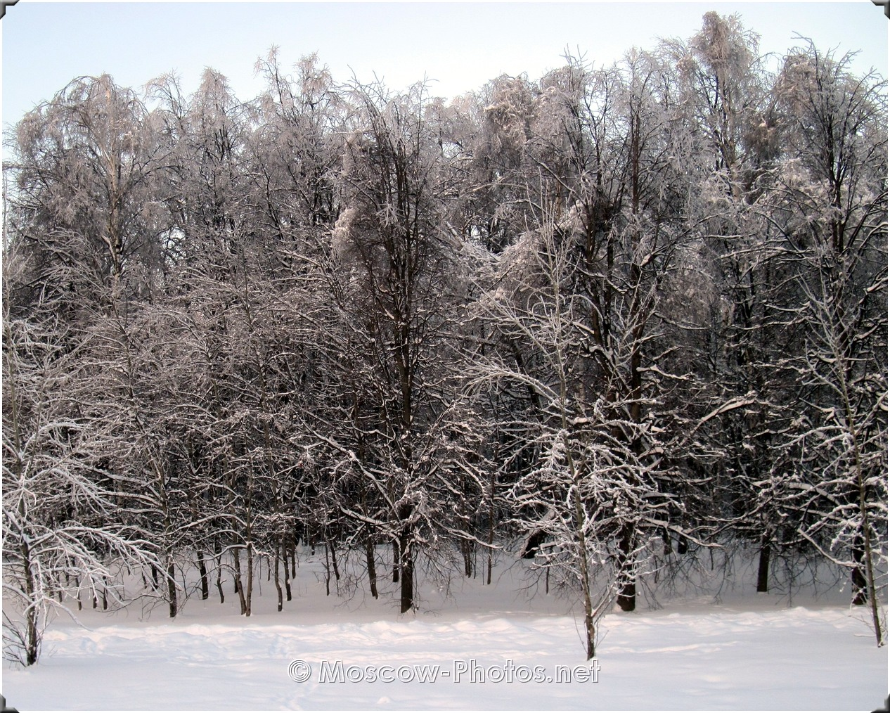 Russian Winter. Forest In Moscow.