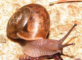Garden Snail Eating Worm