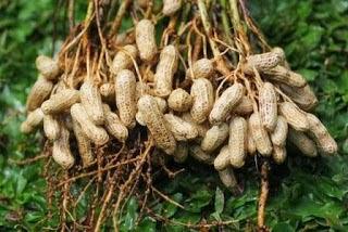 9 Manfaat Kacang Tanah Untuk Kesehatan