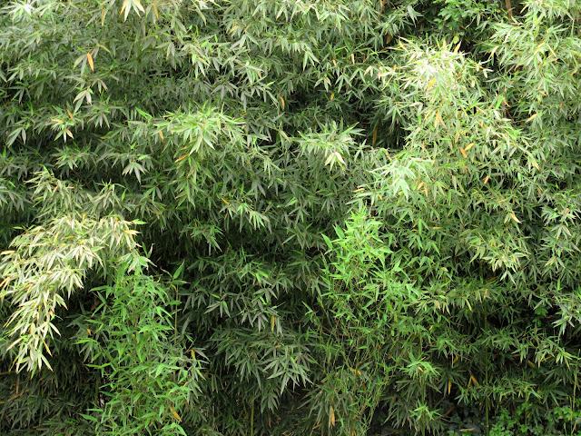 caa bamb plantar o no plantar