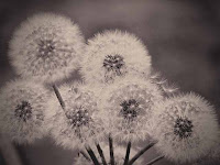 Dandelion Photos and Pictures 13
