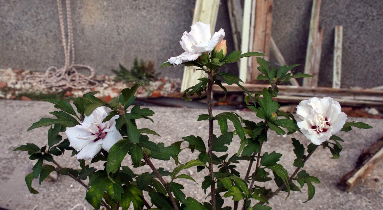 It just keeps flowering
