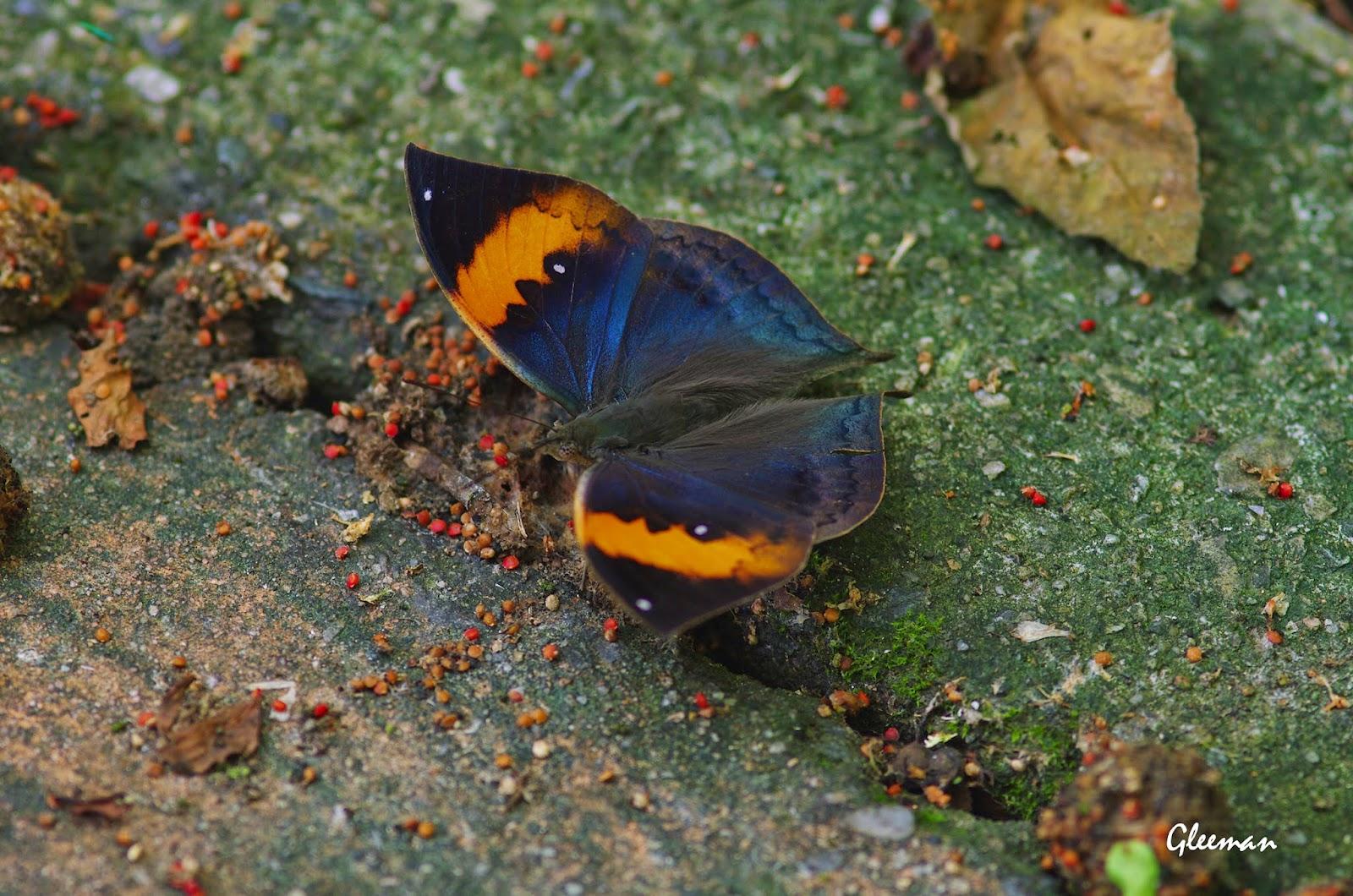 枯葉蝶於雞南山。