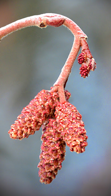 male and female alder catkins
