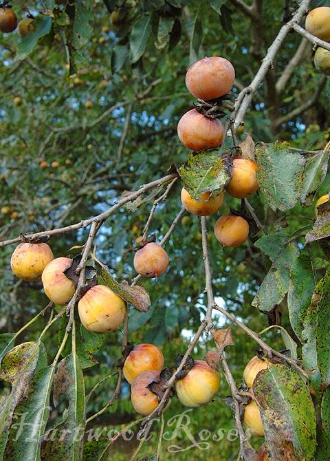 Wild persimmon fruit to harvest wild persimmons jenniferskitchen com