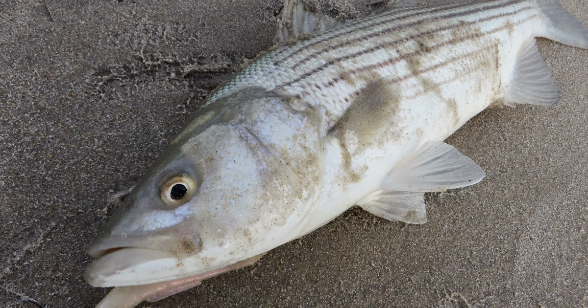Rhode island striped bass sporadic action as small for Striper fishing ri