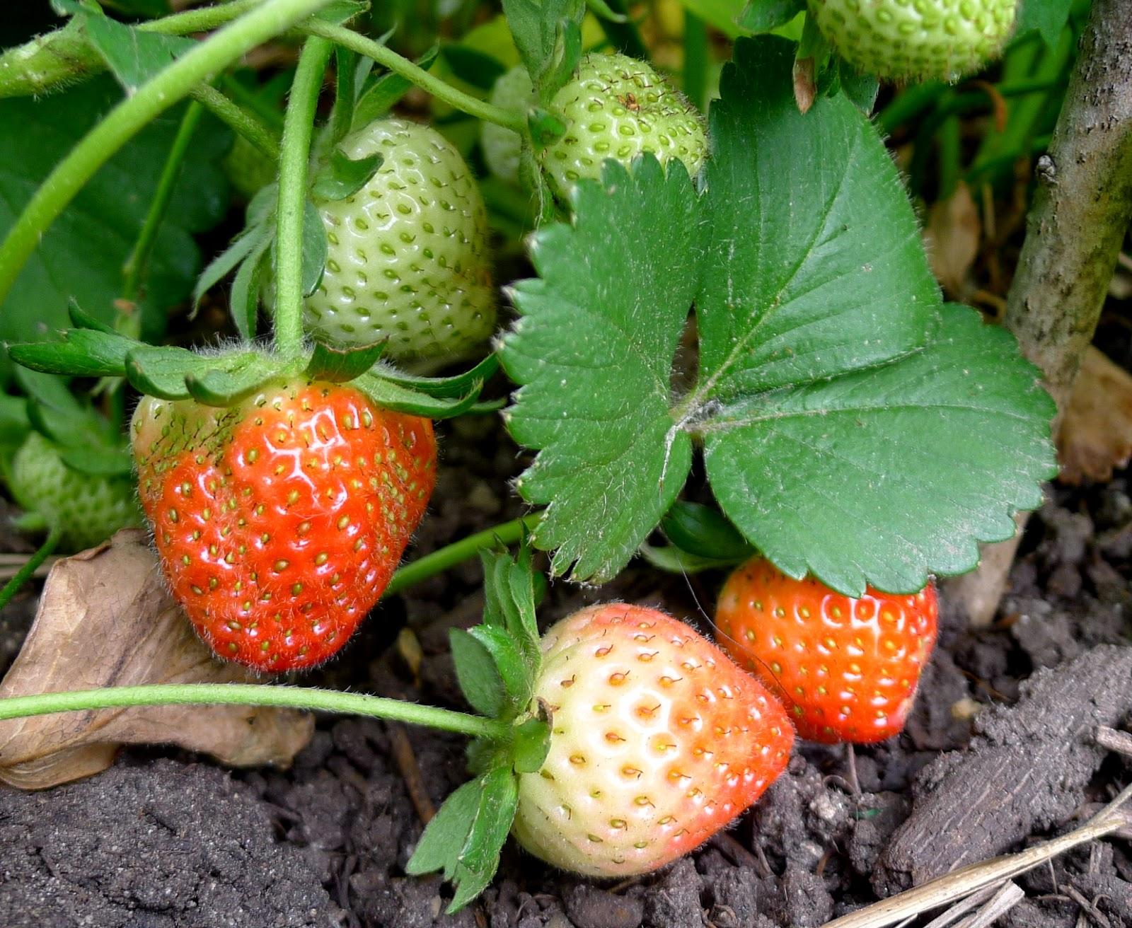 Everbearing strawberries, urban farming