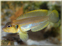 Frog Faced Cichlid Fish Pictures