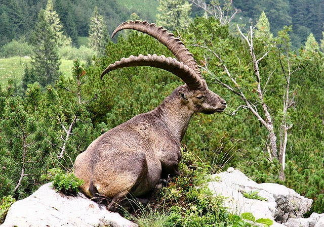 Íbice (Capra ibex) Animal con i