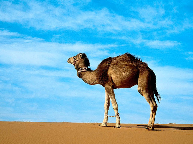 Camel Eid Qurbani Wallpapers Free Download