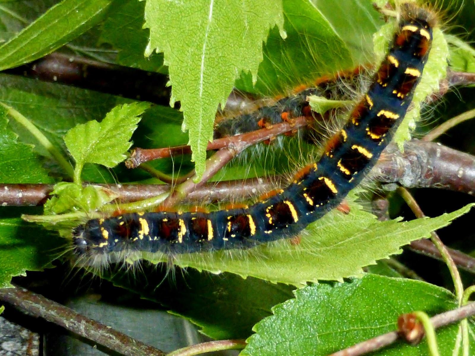Eriogaster lanestris L5 caterpillar