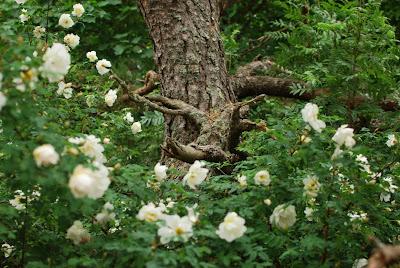 Juhannusruusu kukkii bonsai-männyn alla - Muonamiehen mökki