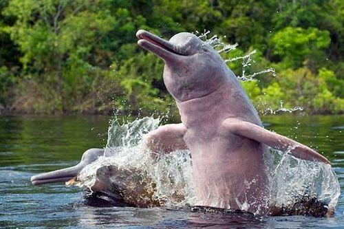 fauna e flora da amazônia o boto cor de rosa inia geoffrensis