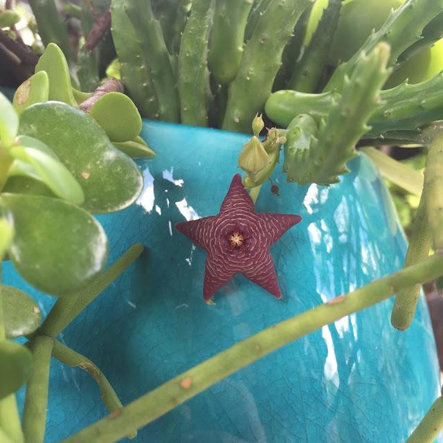 Asclepiadaceae Stapelia Cactus Flowers - Perennial Succulents