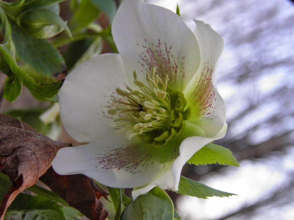 the vermont gardener spring hellebores
