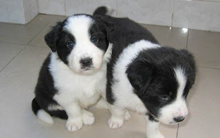 short haired border collie puppies pictures