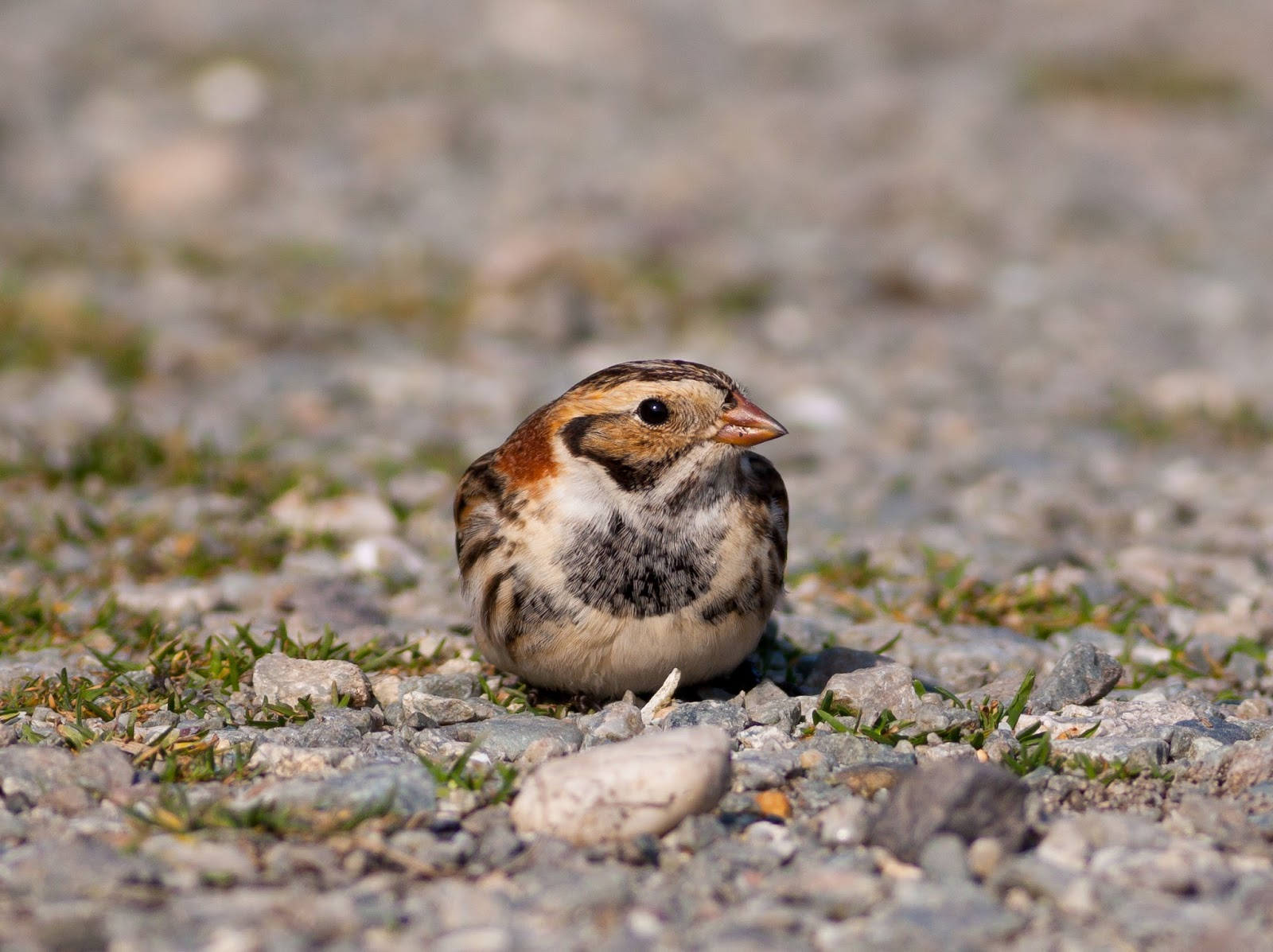 Lapland Bunting, Anglesey