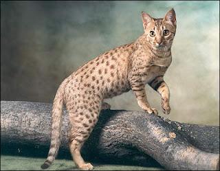 Ocicat Picture