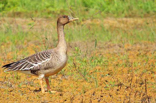 Tundra Bean Goose, Anser serrirostris, field