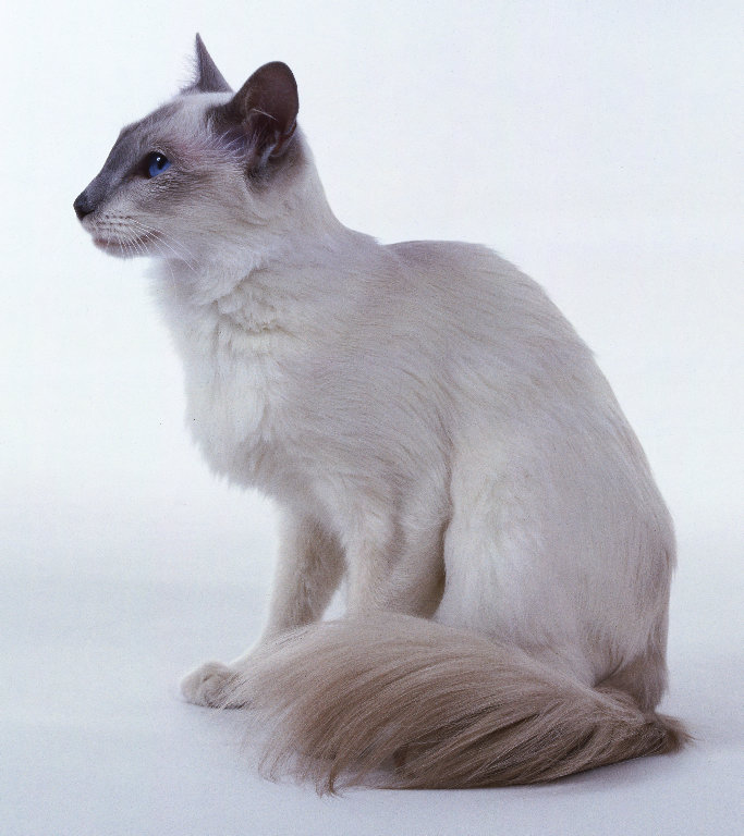 White Balinese Cat Lilac balinese. at 1:04 am
