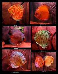Le Discus, un poisson, une passion!