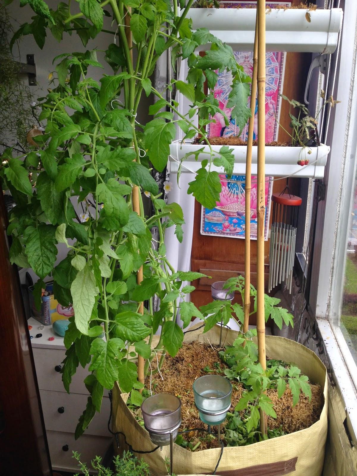 les pieds de tomates test permaculture 2015